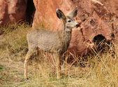 Mule Deer Fawn — Stock Photo