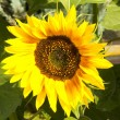 A beautiful sunflower — Foto de Stock
