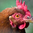 Stock Photo: Hen Peck Close-up
