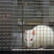 Laboratory rat looking scared trapped in a cage — Stock Photo #10819228