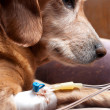 Dog lying on bed with cannula in vein taking infusion - Stock Photo
