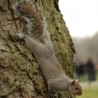 Squirrel head down on tree trunk in london — Stock Photo