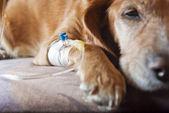 Dog lying on bed with cannula in vein taking infusion — Stock Photo