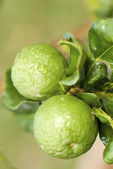Kaffir Limes — Stock Photo