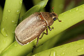 Brown Cockchafer chewing on orchid leaf - Holotrichia geilenkensri — Stock Photo