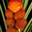 A Cluster of Fruiting Wild Pandanus — Stock Photo