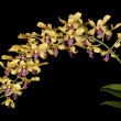Dendrobium — Stock Photo