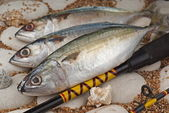Indian Mackerels — Stock Photo