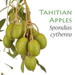 Young Tahitian Apples - Spondias cytherea — Stock Photo