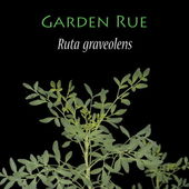 Ruta graveolens known as the Garden Rue — Stock Photo