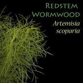 Redstem Wormwood - Artemisia scoparia — Stock Photo