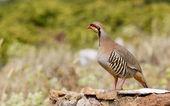 Chukar Partridge (Alectoris chukar) — Stock Photo