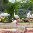 Greater Flamingos in park — Stock Photo #11138587