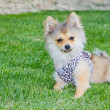 Long hair chihuahua on grass — Stock Photo