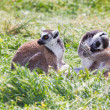 Stock Photo: Pair of ring-tailed lemurs