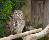 Spotted Eagle-Owl (Bubo africanus) — Stock Photo