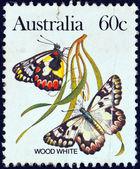 澳大利亚-大约 1981年: 一张邮票印刷的澳大利亚表明木材的白蝴蝶,大约在 1981年. — 图库照片