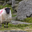 Dartmoor Sheep — Stock Photo