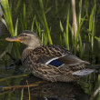 Duck, lake, cane — Stock Photo