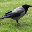 Stock Photo: Crow ,grass