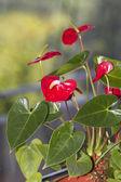 Anturium, květ — Stock fotografie
