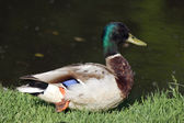 Duck, lake — Stock Photo