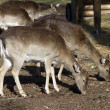 Deer in park — Stock Photo #11088083