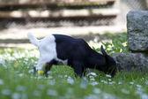 Koza, dzieci — Zdjęcie stockowe