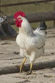 Coq, oiseau, poulet — Photo