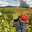 Vineyard in Chianti — Stock Photo #11277786