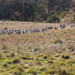 Sheep grazing. Tablelands near Oberon. New South Wales. Australia. — Stock Photo #10809645