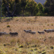 Sheep grazing. Tablelands near Oberon. New South Wales. Australia. — Stock Photo