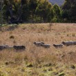 Sheep grazing. Tablelands near Oberon. New South Wales. Australia. — Stock Photo #10809732