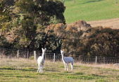 Two white alpacas. Tablelands near Oberon. New South Wales. Australia. — Stock Photo