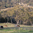 Cows on rocky farmland. Tablelands near Oberon. New South Wales. Australia. — Stock Photo #10810306