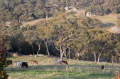 Cows on a rocky farmland. Tablelands near Oberon. New South Wales. Australia. — Stock Photo