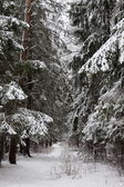 Pinewood forest after heavy snowfall. Moscow region. Russia. — Stok fotoğraf