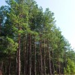 Stock Photo: Pine grove