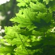 Maple leaves — Stock Photo #10938097