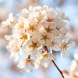 White Flowers in Spring — Stock Photo