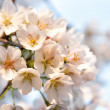 Stock Photo: White Flowers in Spring