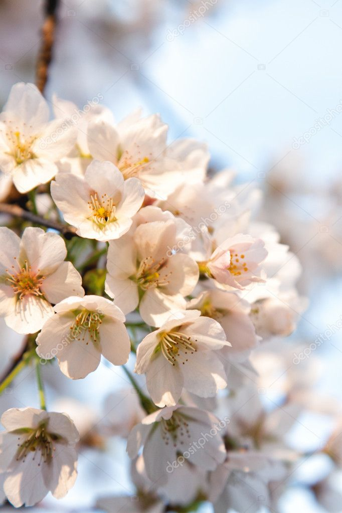 White flowers in spring — Stock Photo #10923717