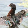 Stock Photo: Mallard Duck Flapping Wings