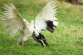 Lucha contra los patos muscovy — Foto de Stock