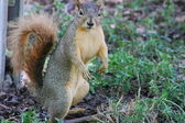 Standing Squirrel — Stock Photo