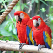 Royalty-Free Stock Photo: Two Scarlet Macaws