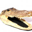 Mounted American Alligator — Stock Photo