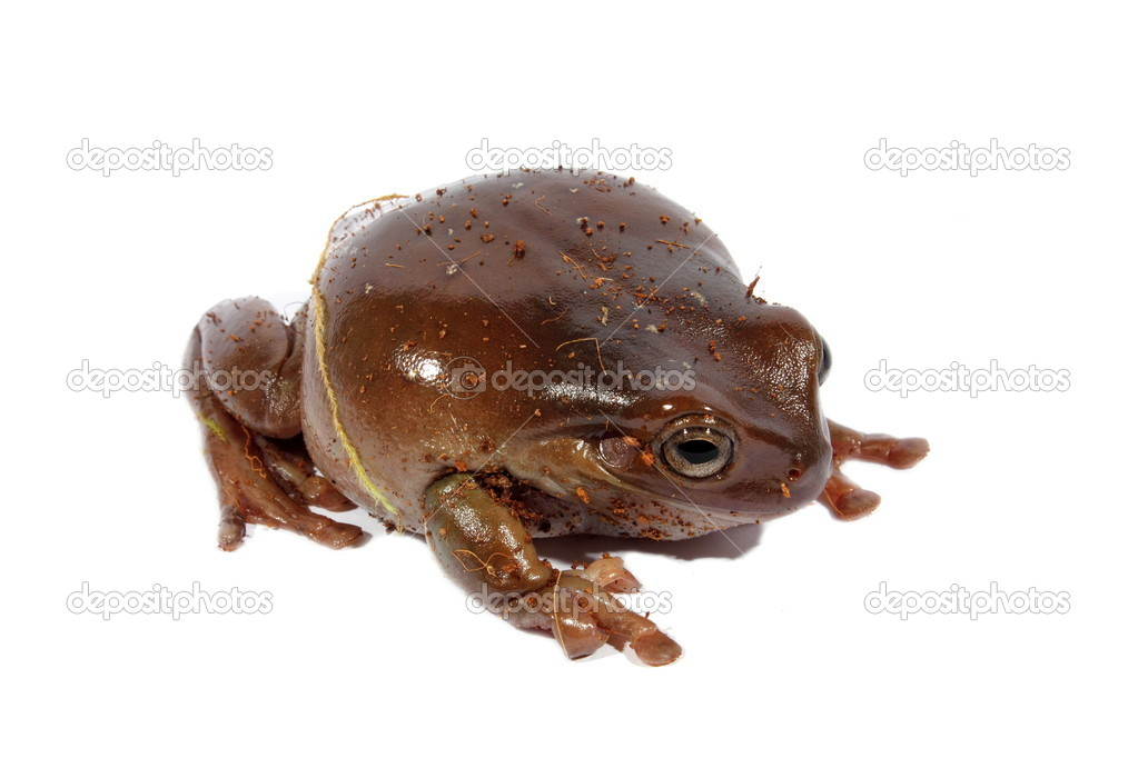 Brown Australian dumpy tree frog sitting on an isolated background.   Stock Photo #11905000