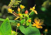 Flowers of Tutsan,Hypericum androsaemum — Stock Photo
