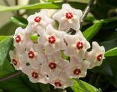The beautiful flowers of Hoya carnosa — Stock Photo